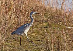 Heron - Michael Bird (Michael R Bird) Tags: heron grey attenboroughnaturereserve attenborough nottingham nottinghamshire lakes pons fish largebird michaelbird canon tamron g2 6d 150600mm