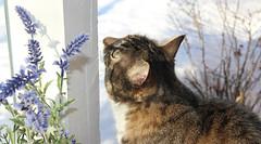 Miisa (andymiccone) Tags: cat miisa katze katt kissa tabby feline chat gato grey gray animal beautiful cute pet domestic
