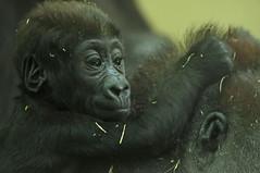 western lowlandgorilla Damsi Artis 094A0240 (j.a.kok) Tags: animal artis africa afrika aap ape mammal monkey mensaap primate primaat zoogdier dier gorilla westelijkelaaglandgorilla westernlowlandgorilla lowlandgorilla laaglandgorilla damsi