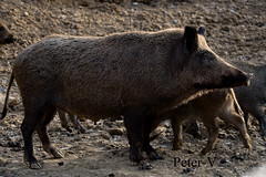 pose wild swine (peter.vrab2) Tags: look scrofa monster brown one hunt nature predator european tusk outdoor risk wild creature male animal meat feed standing environment nose wildlife danger pork dangerous forest pig boar piggy fear sus mammal attack