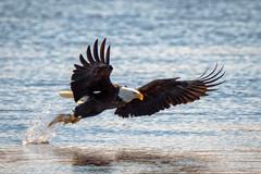 MasterTechnique (jmishefske) Tags: mature wisconsin bald fish nikon necedah dam bird d500 flying petenwell february catching eagle bif 2019