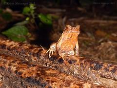 Megophrys ombrophila #15 DSCN1189v3 (Kevin Messenger) Tags: amphibians frog fujian wuyishan megophrys ombrophila amphibia toad china kevin messenger hollis dahn new species guadun herpetology canon wildlife research nature