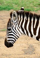 Karagita Plains Zebra (Equus quagga, formerly Equus burchellii, or Burchell's zebra) (7) (Bruce Allardice) Tags: kenya karagitaplains riftvalley zebra equusquagga equusburchellii burchellszebra