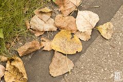 Fallen Leaves (rumimume) Tags: rumimume 2019 niagara ontario canada photo canon 80d trail fall autumn plant leaf outdoor day