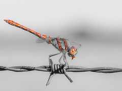 Selective Colour Dragon (bredmañ) Tags: selective colour dragonfly commondarter red orange macro closeup olympus em1 60mm28macro insect wild wildlife handheld naturallight