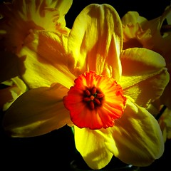 Trumpets of Spring (CarenPolarBears) Tags: daffodil wednesdaymacro