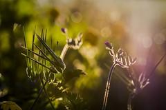 Stork in the light (veredgf) Tags: erodiumgruinum backlight green bokeh flower outdoors beautifullight