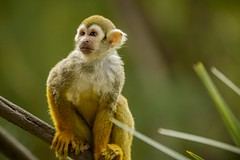 Squirrel Monkey 2 (M424Photography) Tags: squirrel monkey small tiny orange yellow brown white primate nature natural outdoor outdoors wildlife
