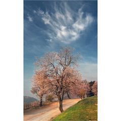 Spring and lovely aspirations (Robyn Hooz) Tags: alberi ciliegio mandorlo pesco primavera trees colli euganei padova