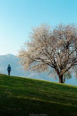 Towards spring (Nicola Pezzoli) Tags: val gandino seriana bergamo italia italy nature spring leffe ceride san rocco tree man silhouette flowers walk grass