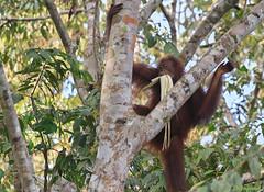 young Bornean orangutan (Ignati) Tags: kinabatanganriver kinabatangan malaysia borneo sabah jungle river forest creature animal wildanimal tree trees orangutan ape mammal pongopygmaeus калимантанскийорангутан орангутан