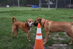Ofiicer Lucy Dog Park-9-12-2018 (Ron Kikuchi) Tags: useofthesphotsowithoutpermissionisnotpermited photosaresubjecttocopyrightsbyphotographer photosaresubjecttocopyrightlaws forpermissiontousephotoscontactrgkphotosnet forpermissiontousephotoscontactrgkphosnet copyrights photgrapher rgkphotosnet ronkikuchi officerlucydogpark collies dogsdogparks germanshephards labradooddle labradors poodles dogparks winstonsdoghouseproductions tx rgkphotoscontactphotograperatrkikuchi47gmailcom
