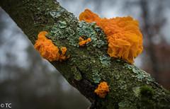 Oranje trilzwam/Tremella mesenterica (truus1949) Tags: wandelen zwammen natuur tak