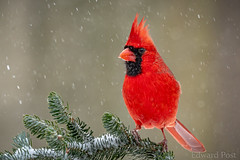 Northern Cardinal (Cardinalis cardinalis) (ER Post) Tags: bird northerncardinalcardinaliscardinalis jenison michigan unitedstatesofamerica us