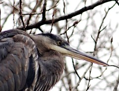 Watchful heron (EcoSnake) Tags: greatblueheron ardeaherodias gbh birds wildlife winter january tree idahofishandgame naturecenter