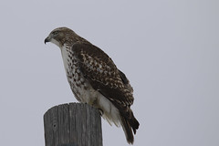 Cooper's Hawk Perched (jimmy.stewart40) Tags: wildlife hawk wildanimal mammal bird raptor birdofprey feathers beak eye perch