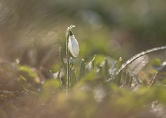 leading the way (Emma Varley) Tags: snowdrop flower winter february westsussex dreamy bokeh sparkle shine soft