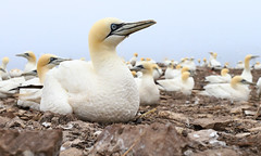 Gannet... Up close and Personal! (captures.in.time) Tags: gannet northerngannet bird seabird nature north sea bass bassrock northberwick berwick photography naturephotography wildlife wildlifephotography birding birds birdphotography ornothologist canon east lothian eastlothian sky