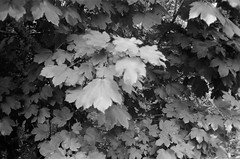Leaves! (Matthew Paul Argall) Tags: canonsnappy20 fixedfocus 35mmfilm blackandwhite blackandwhitefilm kentmere100 100isofilm leaves leaf