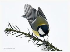 Keep the balance (G.Claesson) Tags: fågel vogel bird talgoxe greattit parusmajor vinter winter mes sverige sweden