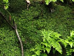 P1060057 (Hiker Bob) Tags: 20190220 bryophytes ferns liverwort meanderthals sangabrielmountains sangabrielriver westfork