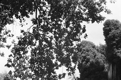 Tree branches (Matthew Paul Argall) Tags: beirettevsn 35mmfilm kentmere100 100isofilm blackandwhite blackandwhitefilm treebranches leaves