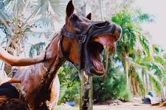 The horses (samineum) Tags: soap horseback equestrian equine tree palmtrees pasture ranch farm shower barn outdoors bath bathe water crazy weird tired yawn teeth horse