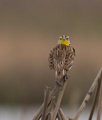Western Meadowlark staring me down! (Lisa Roeder) Tags: