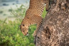 Leopard Nearly Down From her Tree (helenehoffman) Tags: africa kenya pantheraparduspardus felidae mammal conservationstatusvulnerable cat feline africanleopard leopard bigcat maasaimaranationalreserve animal
