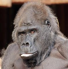 western lowlandgorilla Massa Krefeld 094A0823 (j.a.kok) Tags: animal africa afrika aap ape mammal monkey mensaap massa primate primaat zoogdier dier westelijkelaaglandgorilla westernlowlandgorilla gorilla lowlandgorilla laaglandgorilla zilverrug silverback krefeld