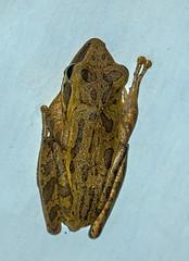 common tree frog - java, indonesia 2 (Russell Scott Images) Tags: java indonesia commontreefrog polypedatesleucomystax amphibian