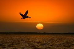 Brown Pelican in flight at sunrise on Captiva Island, Florida (diana_robinson) Tags: brownpelican birdinflight pelecanusoccidentalis sunrising sunrise orangesun orangeball captivaisland gulfofmexico florida