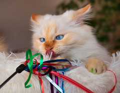 Ribbons ! (FocusPocus Photography) Tags: tofu dragon katze kater cat spielzeug toy bänder ribbons blaueaugen blueeyes tier animal haustier pet htt tonguetuesday