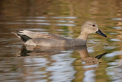 Gadwall (PhotoLoonie) Tags: duck gadwall waterbird bird nature wildlife attenboroughnaturereserve