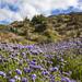 Nice blue-purple phacelia