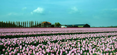 Postcard from Holland (Inky-NL) Tags: tulips goereeoverflakkee ingridsiemons©2019 flowers holland dutch dutchlandscape landscape thenetherlands tulpen farm