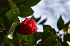 Kamelienblüte (Camellia japonica Kultivar); Bergenhusen, Stapelholm (18) (Chironius) Tags: stapelholm bergenhusen schleswigholstein deutschland germany allemagne alemania germania германия niemcy rosa asterids heidekrautartige ericales teestrauchgewächse theaceae kamelien camellia blüte blossom flower fleur flor fiore blüten цветок цветение rot