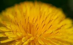 Macro of  dandelion (Michiel Pols) Tags: gx9 hitland nederland nieuwerkerk aan den ijssel panasonic lumix dandelion paardenbloem flower macro close up flora olympus 30mm spring micro four thirds g netherands