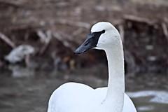 MAJESTIC PROFILE, ACA PHOTO (alexanderrmarkovic) Tags: swan acaphoto blufferspark scarborough ontario canada