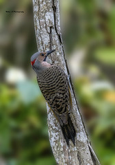 Northern Flicker-Colaptes auratus (Mike_FL) Tags: northernflickercolaptesauratus nikon nikond7500 tamron100400 nature outdor markhampark woodpecker photograph park florida floridawildlife male image wildlife