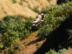Tawny Eagle (npaprock) Tags: aquilarapax aquila tawnyeagle eagle ethiopia africa bird raptor oromia