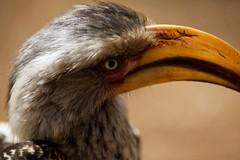 Southern yellow-billed hornbill (reallocalcelebrity) Tags: hornbill krugernationalpark southafrica southernyellowbilledhornbill subism tockusleucomelas