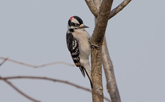 7K8A6959 (rpealit) Tags: scenery wildlife nature wallkill river national refuge downy woodpecker bird