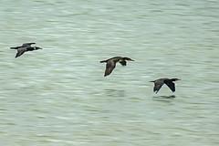 Cormorants (ianbartlett) Tags: 365 outdoor wildlife nature birds flight monochrome sea sand water dogs groynes drone landscape light colour seal