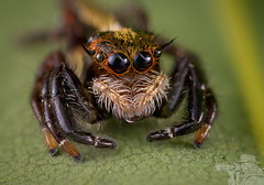 Jumping Spider (Salticidae) (djflexkid) Tags: closeup creepycrawlies jumpingspider macro micro nature outdoor places singapore spider