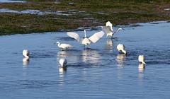 Eurasian Spoonbills and Little Egrets (Wild Chroma) Tags: platalea leucorodia platalealeucorodia egretta garzetta egrettagarzetta egret spoonbill ludo faro birds nonpasserines algarve riaformosa