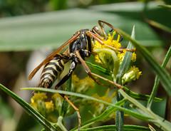 Wasp 12 (Christa R.) Tags: wasp creativecommons freephotos insects hymenoptera arthropoda