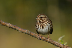 Song Sparrow (jonathanirons28) Tags: songsparrow melospizamelodia bigwaterfarm yardbirding mdbirding sparrows fallmigration fall2018 sosp yearofthebird october 2018 maryland queenannesmd mbpqueenstownquad nikon d500