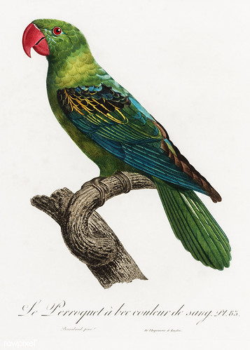 Moluccan parrot vintage poster