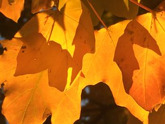 IMG_5958 November 7, 2016 (tombrewster6154) Tags: fall foliage orange autumnal illuminations radiant shiny leaves yellow fiery early november friendly shopping center shadows maple tree
